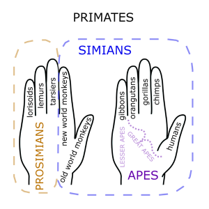 Primate_Hand_Mnemonic